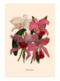 Orchid: Cattleya Labiata