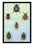 Beetles of Cape  America  Manilla  N Holland and Brazil