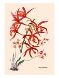 Orchid: Laelia Cinnabarina