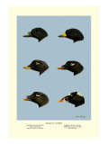 Heads of Scoters