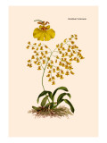 Orchid: Oncidium Varicosum