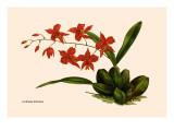 Orchid: Cochlioda Notzliana