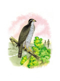 The Black-Cap Hawk