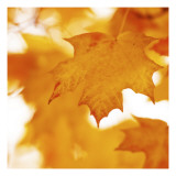 Autumn Leaves in Soft Sunshine II