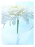 White Anemone Dahlia II