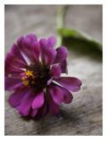Purple Zinnia