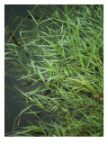 Marshland Grasses
