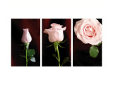 Pink Roses Triptych