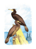 Townsend&#39;s Cormorant
