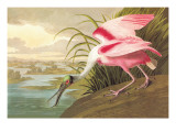 Roseate Spoonbill
