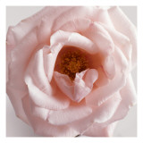 Powder Pink Rose III