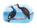 Violet Green Cormorant and Florida Cormorant