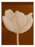 Tulip Serenity