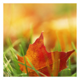 Red Leaf on Grass