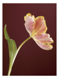 Pink Tulip