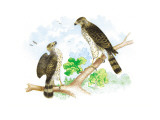 Sharp Skinned Hawk with Broad Wing Hawk