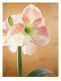 White and Pink Amaryllis