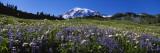 Wildflowers on a Landscape  Mt Rainier National Park  Washington State  USA