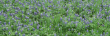 Grassy Field  Texas Blue Bonnets  Austin  Texas  USA