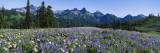 Wildflowers on a Landscape  Tatoosh Range  Mt Rainier National Park  Washington State  USA