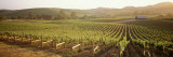 Vineyards  Carneros District  Napa Valley  California  USA