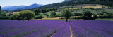 Mountain Behind a Lavender Field  Provence  France