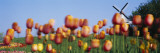 Tulip Flowers with a Windmill in the Background  Holland  Michigan  USA