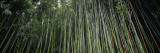 Dense Bamboo Forest  Hawaii  USA