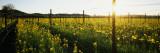 Crops in a Field  Napa Valley  California  USA