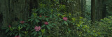 Rhododendron Flowers in a Rainforest  California  USA
