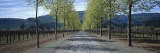 Trees on Both Sides of a Road  Napa Valley  California  USA
