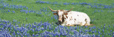 Texas Longhorn Cow Sitting on a Field  Hill County  Texas  USA