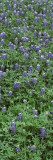 Plants  Bluebonnets  Austin  Texas  USA