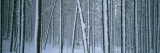 Lodgepole Pine Trees Covered with Snow  Helena National Forest  Montana  USA