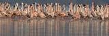 Lesser Flamingos in Water
