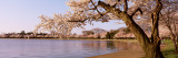 Cherry Blossom Tree along a Lake  Potomac Park  Washington DC  USA