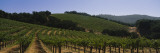 Vineyard on a Landscape  Napa Valley  California  USA