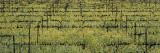 Mustard Field  Napa Valley  California  USA