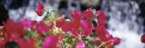 Bougainvillea Flowers  Big Island  Hawaii  USA