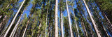 Pine Trees in a Forest  Lodgepole Pines  Montana  USA