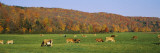 Herd of Cows Grazing in a Field  Wilmington  Windham County  Vermont  New England  USA