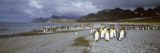 King Penguins  Gold Harbor  South Georgia Island  Falkland Islands
