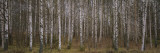 Silver Birch Trees in a Forest  Narke  Sweden