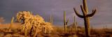 Organ Pipe Cactus National Monument  Arizona  USA
