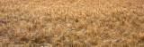 Wheat  Colorado  USA