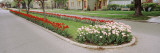Tulips on a Street  Holland  Michigan  USA