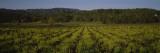 Plants in a Vineyard  Kenwood  California  USA