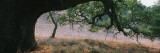 Oak Tree on a Field  Sonoma County  California  USA