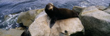 Sea Lion Lying on a Rock at the Coast  Fisherman's Wharf  Monterey  California  USA