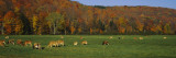Cows Grazing on a Pasture  Wilmington  Vermont  New England  USA
